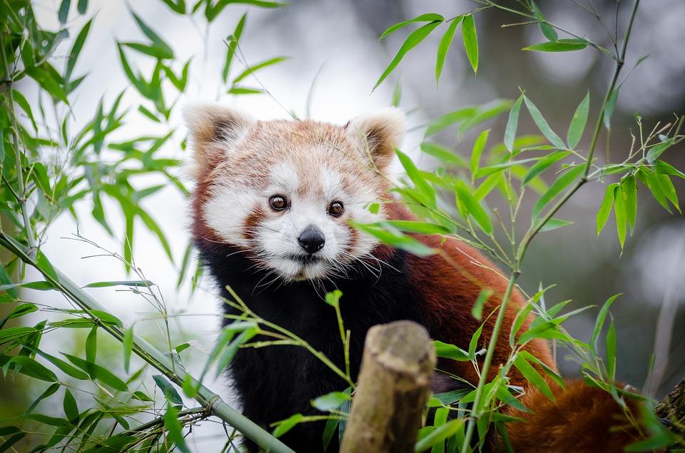 Sačuvajmo crvenu pandu od izumiranja!