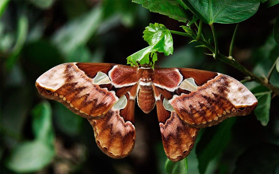Tužni let ugrožene vrste: Na krilima Atlasa